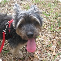 Adopt A Pet :: Bear - Palm Harbor, FL