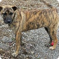 Adopt A Pet :: Tori **In a foster home** - Breinigsville, PA