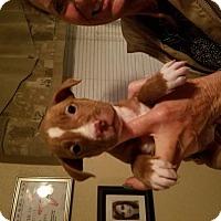 Adopt A Pet :: Vixen - Lemoore, CA