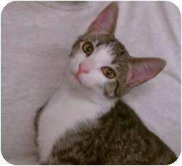 Domestic Shorthair Cat for adoption in Greenville, South Carolina - Tulip