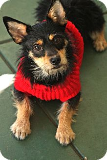 Terrier (Unknown Type, Small) Mix Dog for adoption in san diego, California - Alma