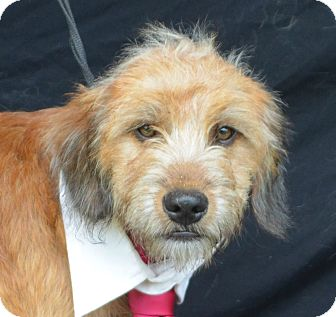 Tibetan Terrier Mix Dog for adoption in Plano, Texas - Charlie