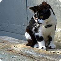 Adopt A Pet :: Cheerio - Brooklyn, NY