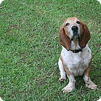 Adopt A Pet :: Copper - Northport, AL