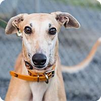 Adopt A Pet :: Elsa - Ware, MA