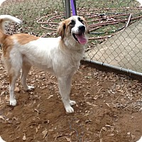 Adopt A Pet :: AUGIE - Sudbury, MA