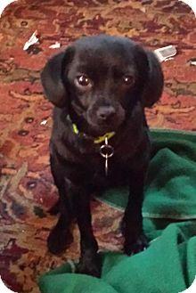 Chihuahua Mix Dog for adoption in Atlanta, Georgia - Trajan