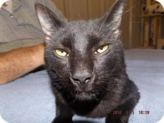 Domestic Shorthair Cat for adoption in Florence, Texas - Weyoun