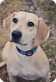 Hound (Unknown Type) Mix Dog for adoption in Loxahatchee, Florida - Lady Bug 816