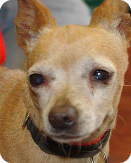 Chihuahua Dog for adoption in Longview, Washington - Junior