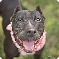 Pit Bull Terrier/Cane Corso Mix Dog for adoption in Tomball, Texas - Lula