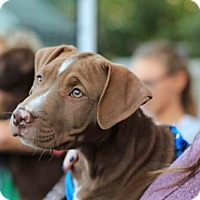 Labrador Retriever/Pit Bull Terrier Mix Puppy for adoption in Morganville, New Jersey - Cairo
