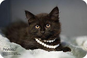 Domestic Longhair Kitten for adoption in Brockton, Massachusetts - Peyton