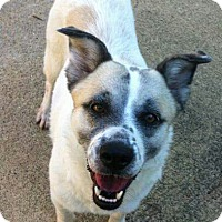 Collie Mix Dog for adoption in Wilkes Barre, Pennsylvania - Kalina