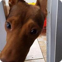 Adopt A Pet :: Gabby - Fort Worth, TX