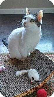Domestic Shorthair Cat for adoption in Shoreline, Washington - Softy