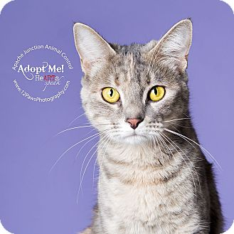Domestic Shorthair Cat for adoption in Apache Junction, Arizona - Lizzy