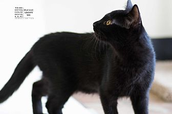 Domestic Shorthair Kitten for adoption in Houston, Texas - CANDY