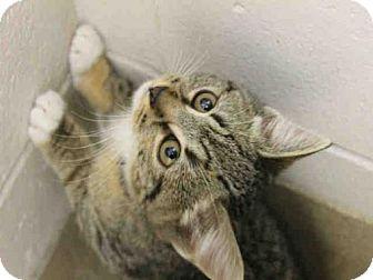 Domestic Mediumhair Kitten for adoption in Decatur, Illinois - POE