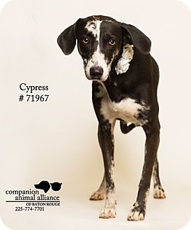 Catahoula Leopard Dog/Retriever (Unknown Type) Mix Dog for adoption in Baton Rouge, Louisiana - Cypress