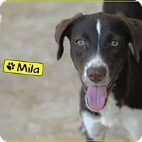 Adopt A Pet :: Mila - St. Catharines, ON