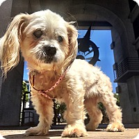Shih Tzu/Lhasa Apso Mix Dog for adoption in Redondo Beach, California - Fiona