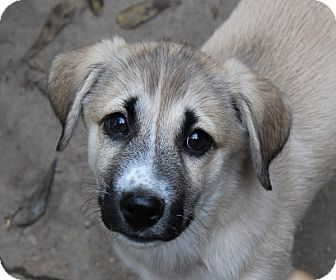 Shepherd (Unknown Type)/Retriever (Unknown Type) Mix Puppy for adoption in kennebunkport, Maine - Merida - PENDING - in Maine
