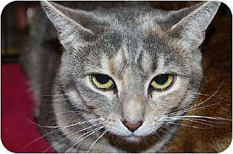 Domestic Shorthair Cat for adoption in Jenkintown, Pennsylvania - Maia