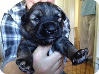Labrador Retriever Mix Puppy for adoption in Los Angeles, California - Connor
