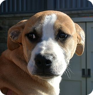 American Pit Bull Terrier/Hound (Unknown Type) Mix Puppy for adoption in white settlment, Texas - Max