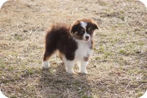 Australian shepherd puppy for adoption in overland park kansas