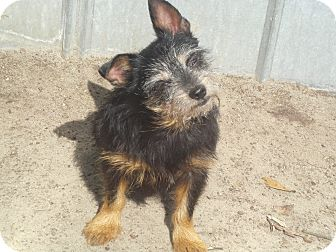 Terrier (Unknown Type, Small) Mix Dog for adoption in Crawfordville, Florida - Diesel