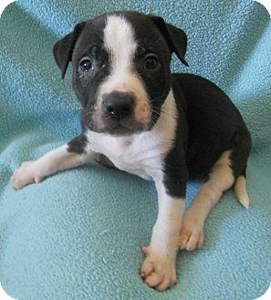 Auburn, WA - English Bulldog/Blue Heeler Mix. Meet Puppies ...