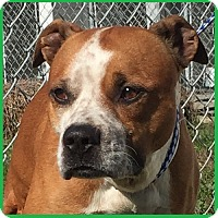 Boxer Mix Dog for adoption in Charlotte, North Carolina - PINTO