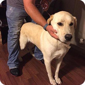 Labrador Retriever Mix Dog for adoption in Odessa, Texas - Aries