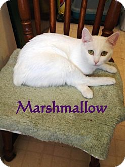 Domestic Shorthair Cat for adoption in Somerset, Kentucky - Marshmallow