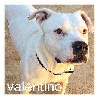 American Pit Bull Terrier/American Bulldog Mix Dog for adoption in Dallas, Texas - Valentino