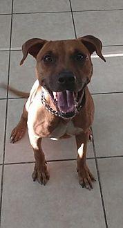 Mountain Cur Mix Dog for adoption in Lakeland, Florida - Luka