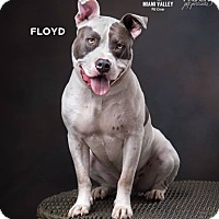 American Staffordshire Terrier/Pit Bull Terrier Mix Dog for adoption in Dayton, Ohio - Floyd