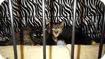 Domestic Shorthair Cat for adoption in College Station, Texas - Square Dance
