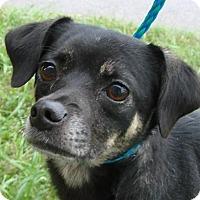 Adopt A Pet :: Scottie - Erwin, TN