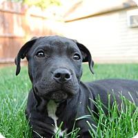 Adopt A Pet :: Vader - Eastpointe, MI
