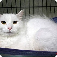 Domestic Mediumhair Cat for adoption in Paris, Maine - Angelica
