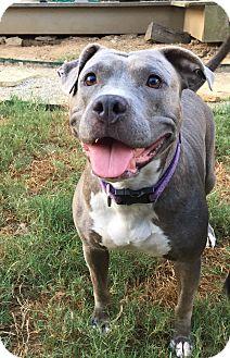 American Staffordshire Terrier Mix Dog for adoption in Colmar, Pennsylvania - Amberlynn
