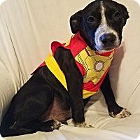Labrador Retriever/Boxer Mix Puppy for adoption in Manchester, New Hampshire - Blaze