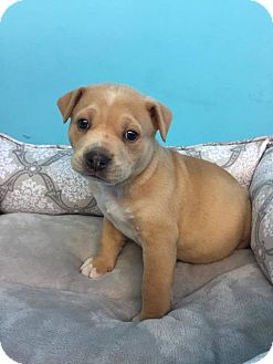 Chow Chow/American Pit Bull Terrier Mix Puppy for adoption in Elgin, Illinois - Pete