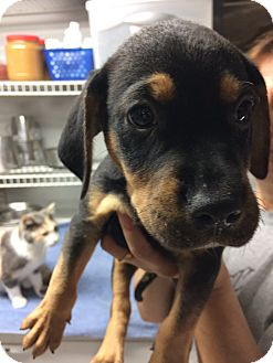 Beagle/Rottweiler Mix Puppy for adoption in St. Louis, Missouri - Snickers