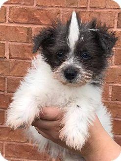 Pomeranian/Schnauzer (Miniature) Mix Puppy for adoption in Atlanta, Georgia - Tate