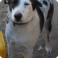 Adopt A Pet :: Buddy (AKA Skagway) - Glendale, AZ
