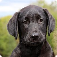 Adopt A Pet :: Stevie Ray - Glastonbury, CT